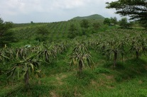 Field of Dragonfruit